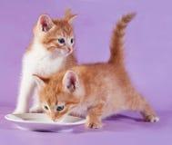 Trinkmilch des Kätzchens mit zwei Rottönen von der Untertasse auf Purpur Stockfotografie