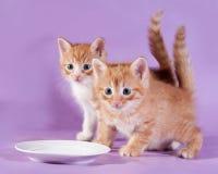 Trinkmilch des Kätzchens mit zwei Rottönen von der Untertasse auf Purpur Lizenzfreies Stockbild