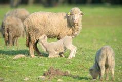 Trinkmilch des netten kleinen Lamms von ihrer Mutter stockbild