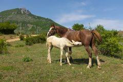 Trinkmilch des wei?en Fohlens von seinem Mutterpferd in der Weide stockbild