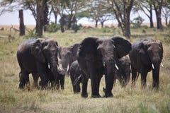 Trinkwasser der afrikanischen Elefanten Lizenzfreies Stockbild