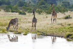Trinkwasser der afrikanischen Giraffe stockbilder