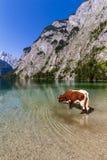 Trinkwasser der alpinen Kuh vom Obersee See, Konigssee, Deutschland Stockfotografie