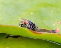 Trinkwasser der Biene von einem Loch im Lotosblatt Lizenzfreies Stockfoto