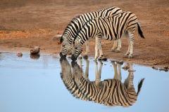 Trinkwasser der Ebenen-Zebras Stockfotos