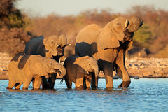 Trinkwasser der Elefanten Lizenzfreie Stockfotos