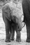 Trinkwasser der Elefantfamilie, zum ihres Dursts auf sehr zu löschen ho Lizenzfreies Stockbild