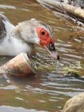 Trinkwasser der Ente in einem verunreinigten See stockbilder