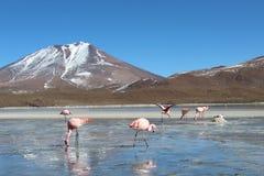 Trinkwasser der Flamingos an einem See in Bolivien lizenzfreies stockbild