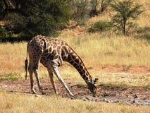 Trinkwasser der Giraffe Stockfoto