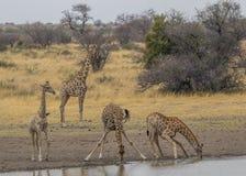 Trinkwasser der Giraffe im afrikanischen Busch stockfotos