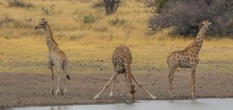 Trinkwasser der Giraffe im afrikanischen Busch stockfoto