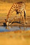 Trinkwasser der Giraffe vom See, orange Sonnenuntergang glättend, großes Tier im Naturlebensraum, Botswana, Afrika Stockbilder