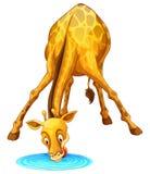 Trinkwasser der Giraffe von der Pfütze Stockfotos
