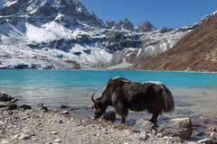 Trinkwasser der großen schwarzen Himalajayak von Lizenzfreies Stockbild