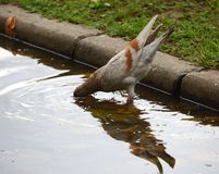 Trinkwasser der hellen Stadttaube von einer Pfütze stockfoto
