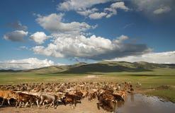 Trinkwasser der Kühe auf Hochländern Stockfotos