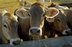 Trinkwasser der Kühe nachdem dem Weiden lassen Stockfotografie