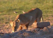 Trinkwasser der Löwin (Panthera Löwe) Lizenzfreies Stockfoto