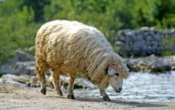 Trinkwasser der Schafe vom See stockbild