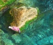 Trinkwasser der Taube vom Stein Stockfoto