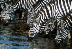 Trinkwasser der Zebras Stockfoto