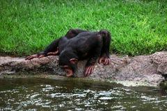 Trinkwasser des Affeschimpansen vom Fluss Lizenzfreie Stockfotografie