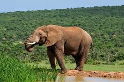 Trinkwasser des Elefanten Stockfoto