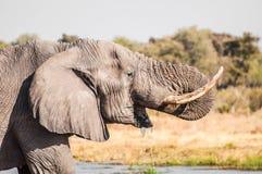 Trinkwasser des Elefanten Stockfotos