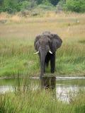 Trinkwasser des Elefanten lizenzfreie stockfotos