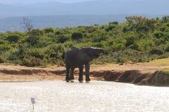 Trinkwasser des Elefanten vom waterhole Stockfotos