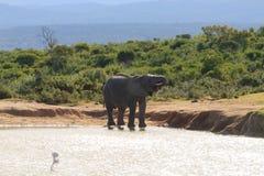 Trinkwasser des Elefanten vom waterhole Lizenzfreie Stockfotografie