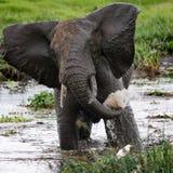 Trinkwasser des Elefanten von den Pfützen afrika kenia tanzania serengeti Maasai Mara Lizenzfreie Stockfotografie