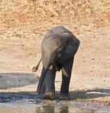 Trinkwasser des Elefantkalbs Stockfotos