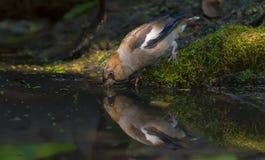 Trinkwasser des Hawfinch am moosigen Ufer von Wasserteich lizenzfreies stockfoto