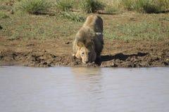 Trinkwasser des männlichen Löwes Stockbild