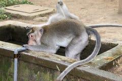 Trinkwasser des Makakenaffen vom Hahn stockfotos