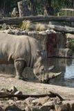 Trinkwasser des Nashorns Stockfotos