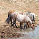 Trinkwasser des roten Roan wildes Pferdehengstes am waterhole mit Herde von wilden Pferden in der Pryor-Gebirgswildes Pferdestrec Stockfoto
