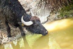 Trinkwasser des schwarzen Büffels Stockfotos