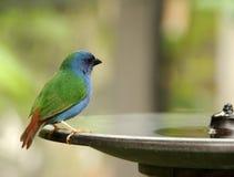 Trinkwasser des Vogels stockbild