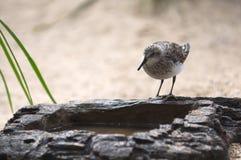 Trinkwasser des Vogels vom künstlichen Felsen. Stockfoto