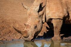 Trinkwasser des weißen Nashorns Stockfotografie