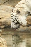 Trinkwasser des weißen Tigers Stockfotografie