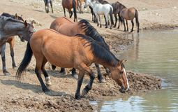 Trinkwasser dunkler Bucksin-Stute mit Herde von wilden Pferden am waterhole in der Pryor-Gebirgswildes Pferdestrecke in Montana U Lizenzfreie Stockbilder