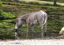 Trinkwasser einzelnen Zebra Equus Quagga stockfoto