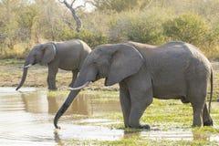 Trinkwasser mit zwei afrikanischen Elefanten, Südafrika (Loxodonta af Lizenzfreies Stockfoto