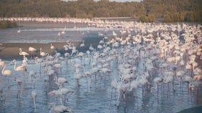 Trinkwasser vieler Flamingos Wild lebende Tiere und Vögel stock video footage