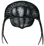trinucleus trilobite pongerardi Стоковое фото RF