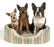 Trio. Of dogs in a pet bed Stock Images